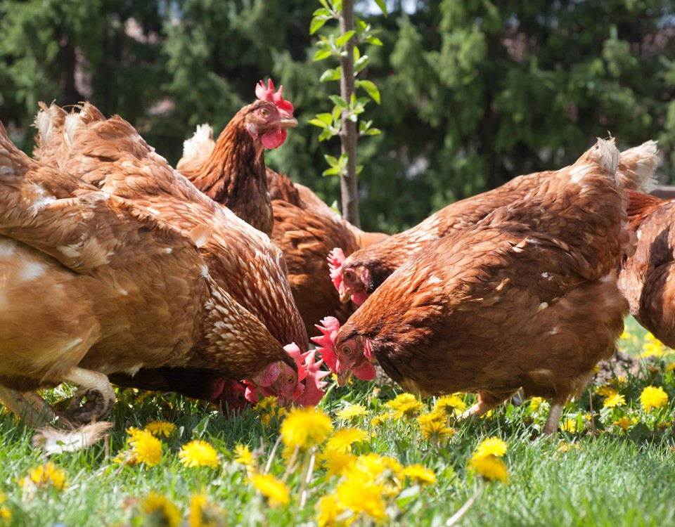 Chicken Run Innovation Project - Enrichment for Broilers